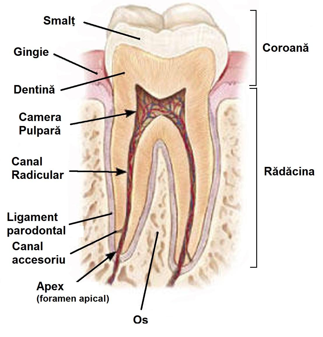 Medic Dentist Satu Mare Cabinet Stomatologic Tratamente dentare sub ...